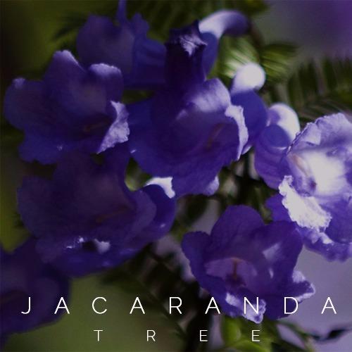 Jacaranda Album Art